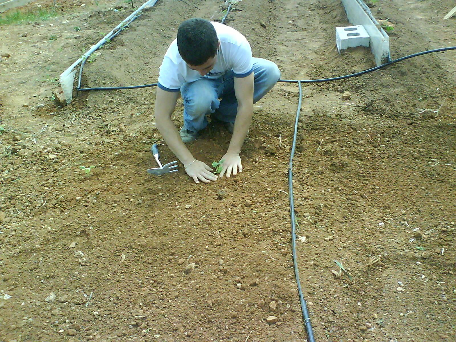 plantando sandías