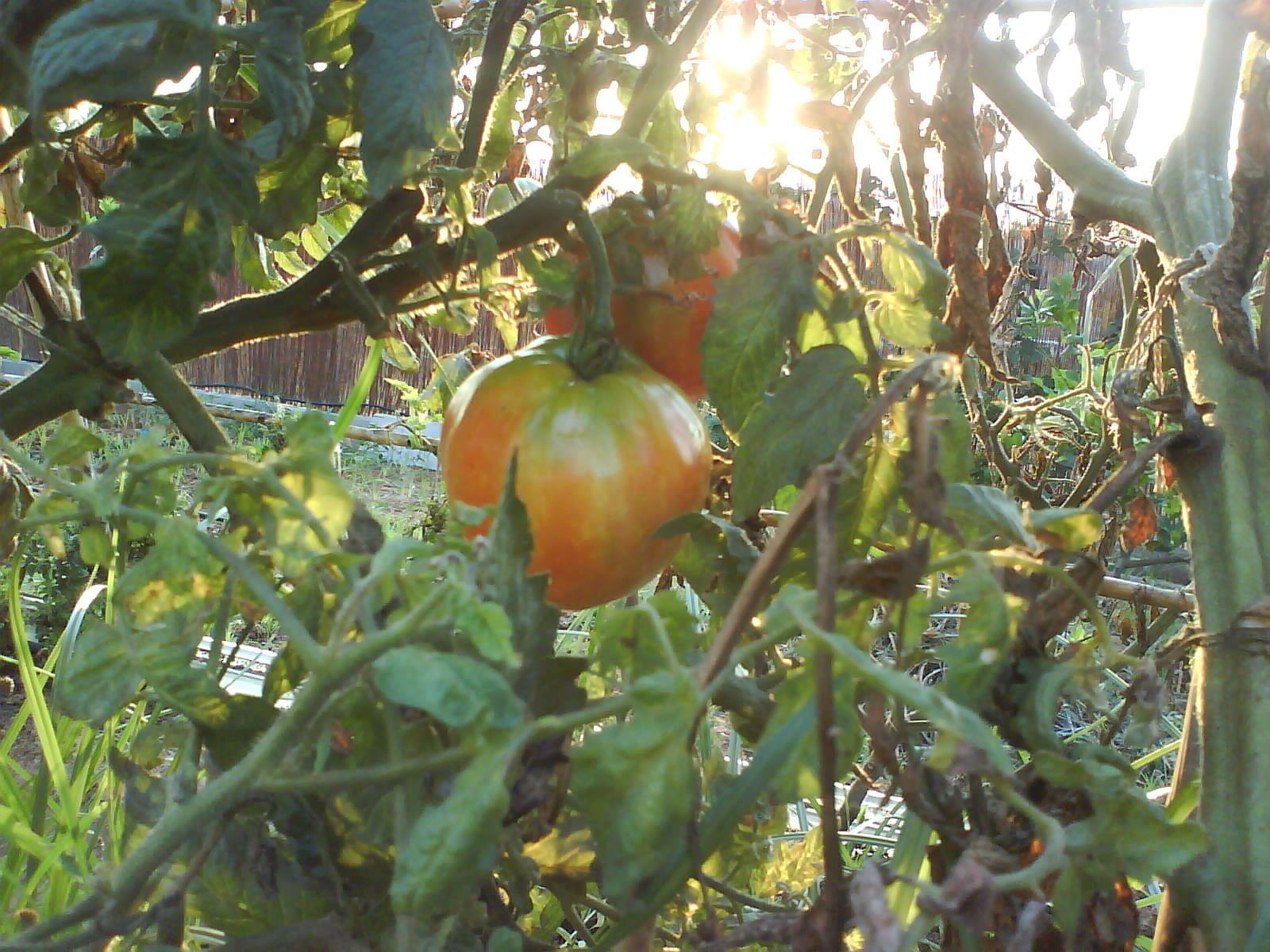 tomates al atardecer